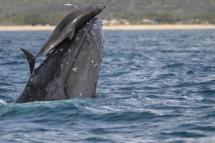 humpbackwhaleanddolphin.jpg
