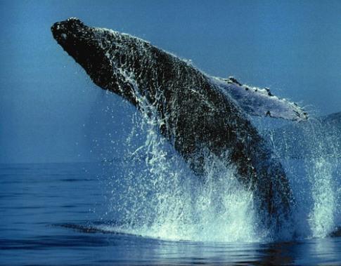 Las ballenas, gigantes del mar (1/4)